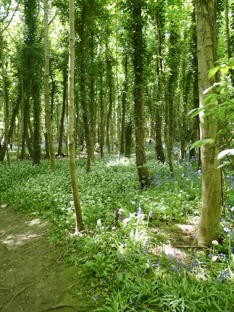 Wild Garlic and Bluebells in Tipperary Wood