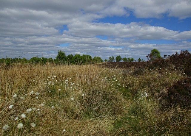 Cotton grass on Flatt Moss