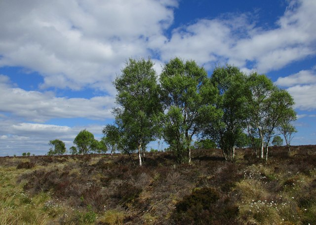 Clump of birch trees, Flatt Moss