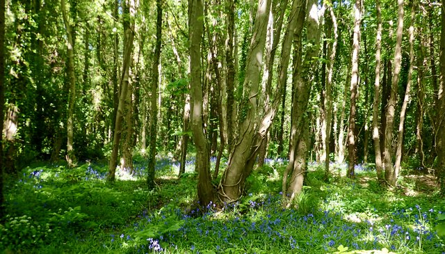 Bluebells in Tipperary Wood