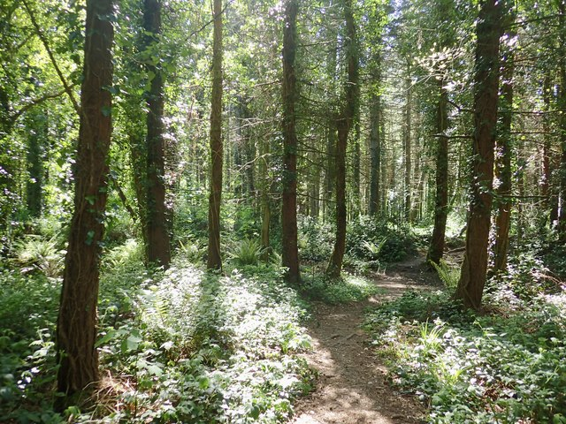 Allium ursinum in Tipperary Wood