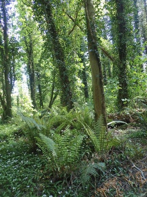 Ferns in Tipperary Wood