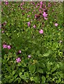 NS5574 : Red campion, Silene dioica by Richard Sutcliffe