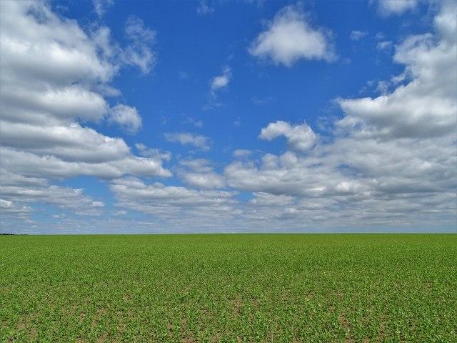 Lincolnshire pea field and big sky