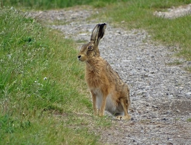 Brown hare in Lincolnshire