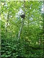TF0820 : Stunted Oak by Bob Harvey