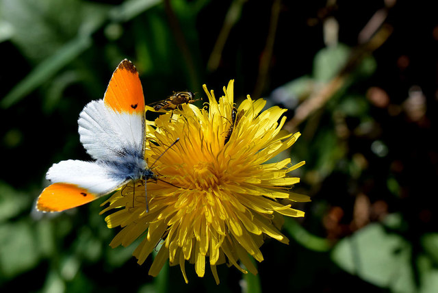 Orange tip butterfly, Glennan