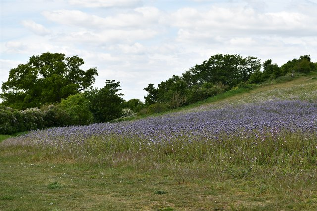 Mendham: Large field of Red Campion and other wild flowers