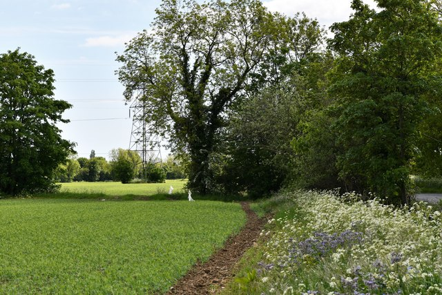 Laxfield: A field of peas guarded by a considerable number of scarecrows