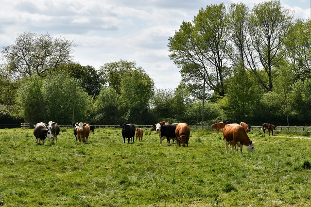 Brandish: Cattle grazing in front of the Lodge