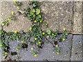 TF0820 : Lesser Trefoil; Trifolium dubium by Bob Harvey