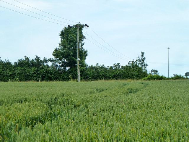Wheat field west of Sandwich Road