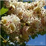 SK6735 : Horse chestnut blossom by Alan Murray-Rust