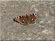 SK6736 : Pale Peacock on the path by Alan Murray-Rust