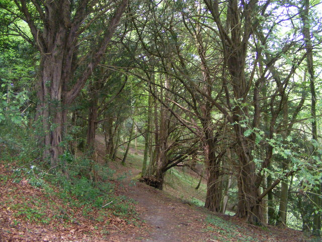 Yew trees at the entrance to The Warren nature reserve