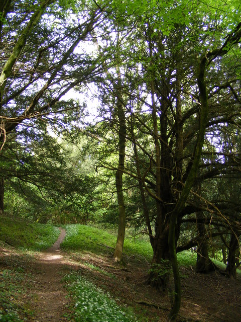 Yew tree in The Warren nature reserve
