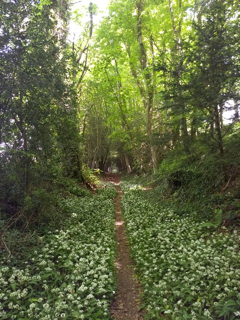 Wild Garlic along the path to Froxfield Green