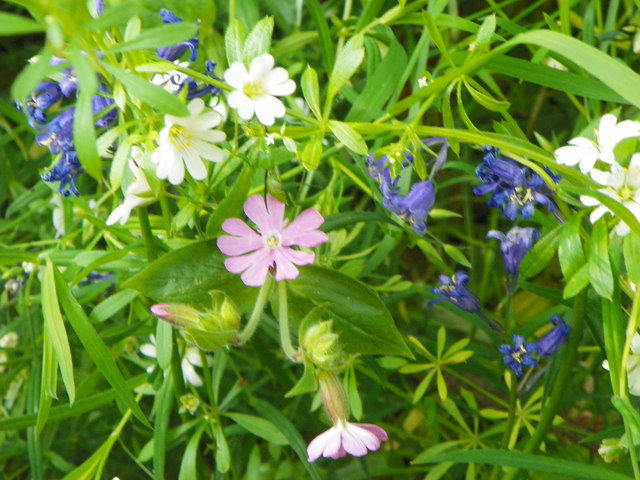 Red Campion, Greater Stitchwort  and Bluebells in Long Meadow Copse