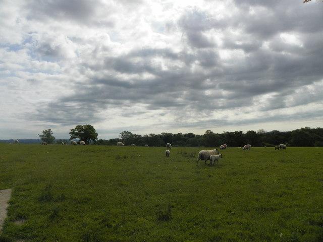 Sheep at Rookery Farm