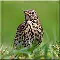 NT4936 : A song thrush (Turdus philomelos) by Walter Baxter