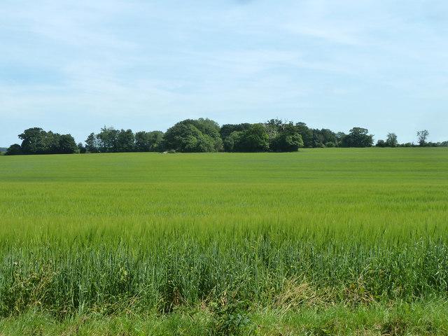 Barley field east of Buckland Lane