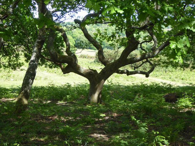 Tree, Ashdown Forest
