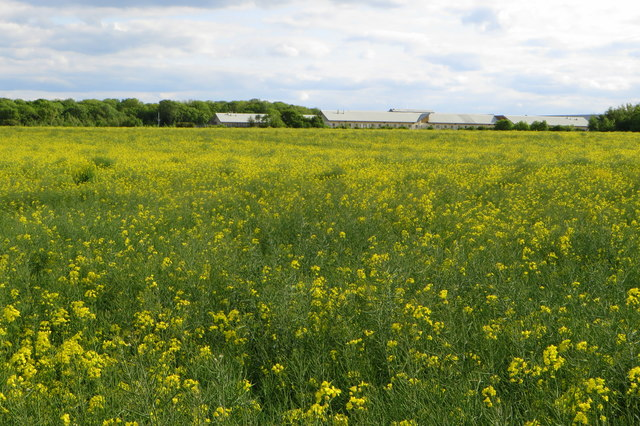 Looking over the rape crop to Yarl's wood detention centre