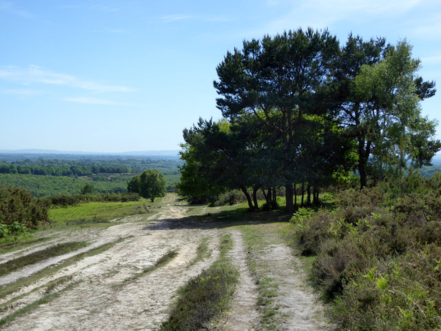 Tree clump by track, Ashdown Forest