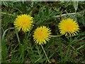 SK6141 : Carlton Cemetery Flowers – Dandelion (Taraxacum officinale) by Alan Murray-Rust