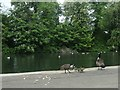 SE3219 : Canada geese on the lake shore, Thornes Park, Wakefield by Christine Johnstone