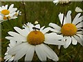 SK6141 : Carlton Cemetery Flowers – Ox-eye Daisy (Leucanthemum vulgare) with hoverfly by Alan Murray-Rust