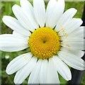 SK6141 : Carlton Cemetery Flowers – Ox-eye Daisy 21/34 by Alan Murray-Rust