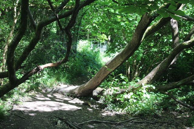 Misshapen trees on footpath to Pennar Lane