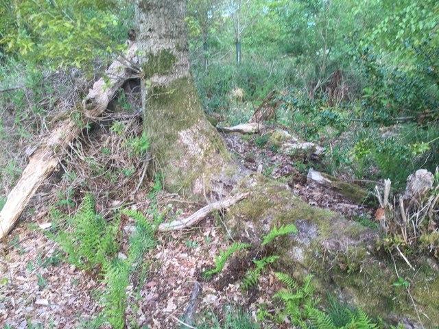Oak, Cuddie Wood