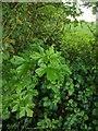 TF0820 : Hawthorn in hedgerow - 11 by Bob Harvey