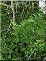 TF0820 : Hawthorn in hedgerow - 13 by Bob Harvey