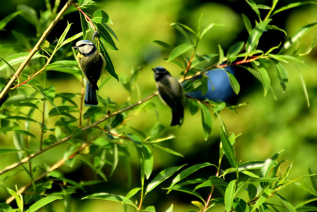 Blue tits, Mullaghmore