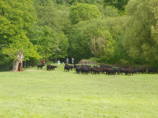 Cattle making a break for it