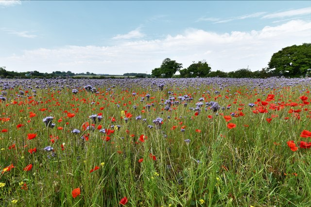Stanton: Field of wild flowers and poppies