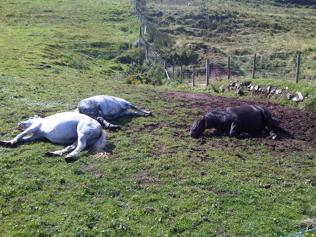 Ponies taking a rest near Carrick-a-rede