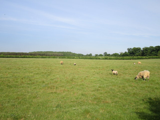 Grazing sheep near Home Dairy farm