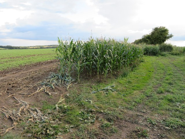 Maize for pheasant