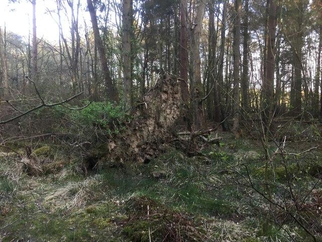 Root plate, Butterdean Wood