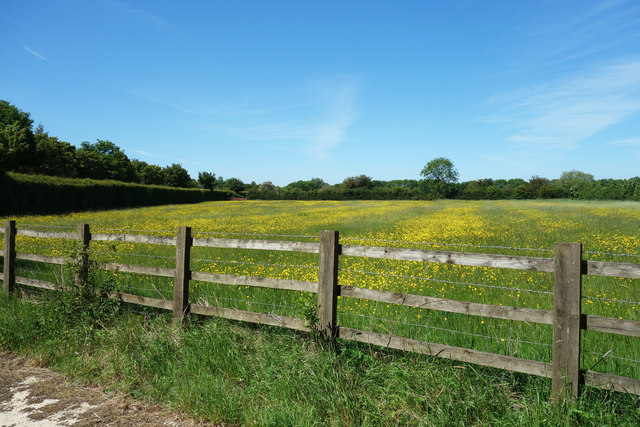Buttercup Meadow with Stripes