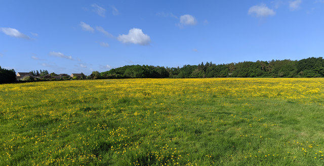 Buttercups on a windy day