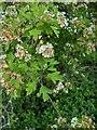 TF0820 : Hawthorn in hedgerow - 17 by Bob Harvey