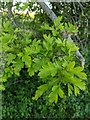 TF0820 : Hawthorn in hedgerow - 20 by Bob Harvey