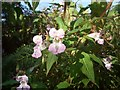 SS8477 : Himalayan balsam near Wig Fach by eswales
