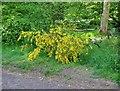 NO2601 : Broom, not gorse! by Bill Kasman