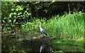 NO2601 : Grey heron by Bill Kasman